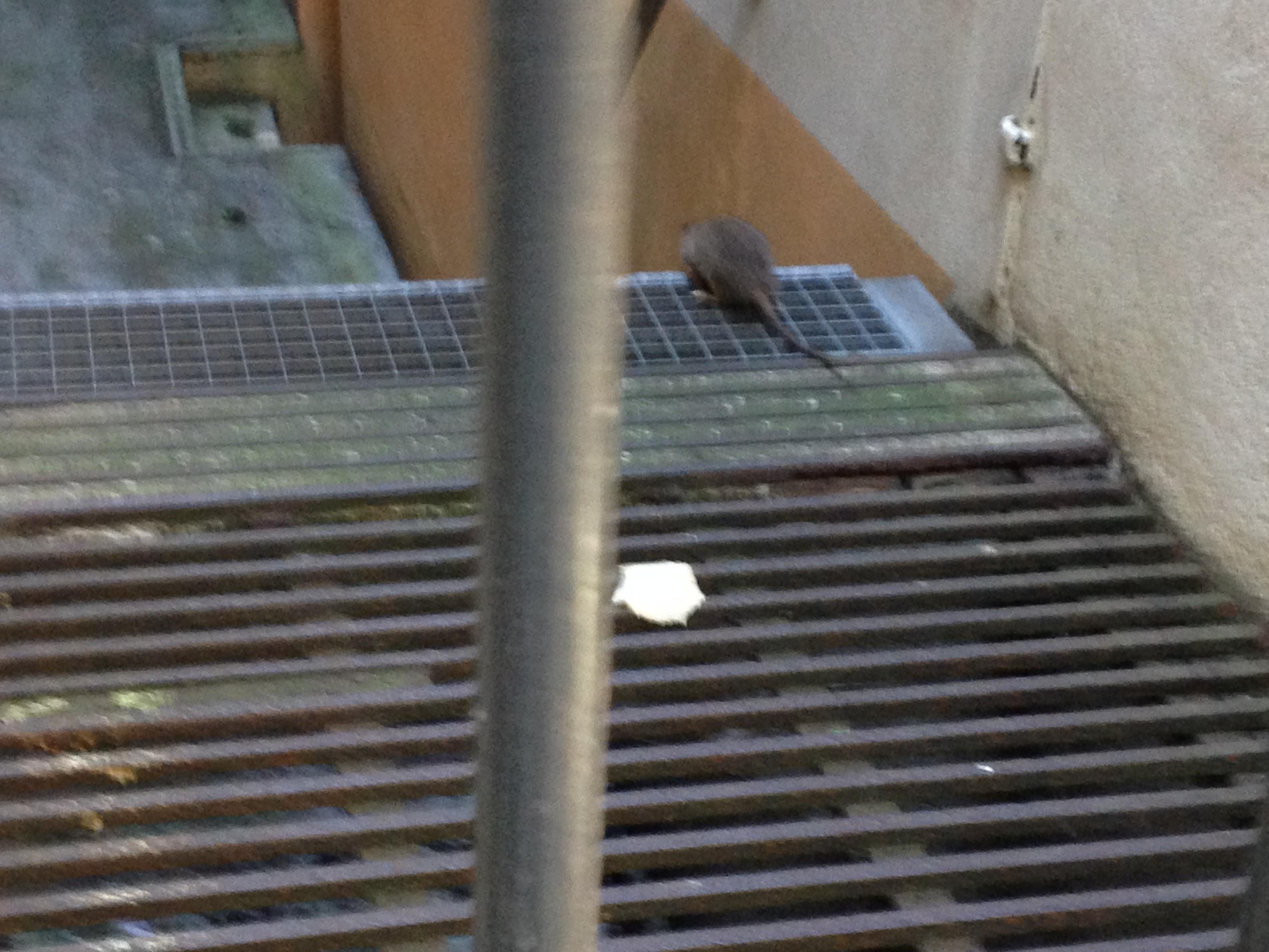 Ratten op straat